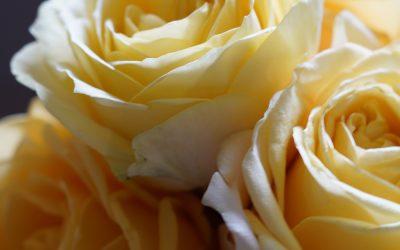 Enjoy a Yellow Rose Brunch with Cheektowaga-Lancaster